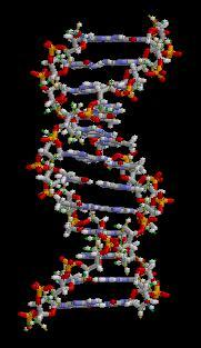 Double helix structure of DNA as discovered in 1953.